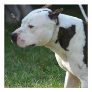 American Staffordshire Terrier Personalized Announcements