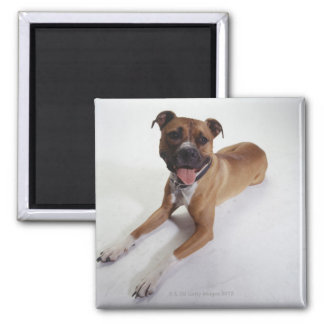 American Staffordshire Terrier lying down, Magnet
