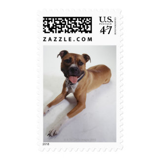 American Staffordshire Terrier lying down, Postage