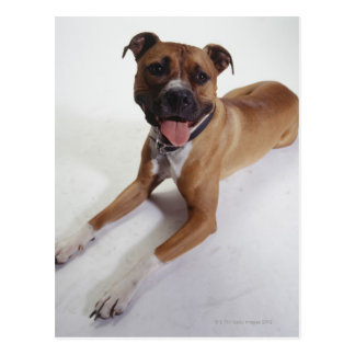 American Staffordshire Terrier lying down, Postcard