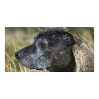 American Staffordshire Terrier Photo Card