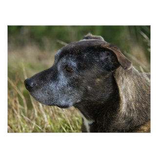 American Staffordshire Terrier Prints