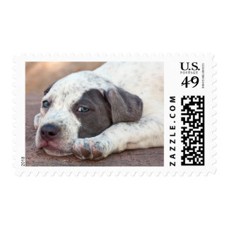 American Staffordshire Terrier puppy lying down Postage