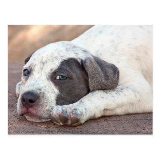 American Staffordshire Terrier puppy lying down Postcard