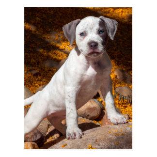 American Staffordshire Terrier puppy Portrait 2 Postcard
