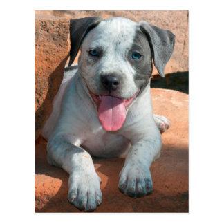 American Staffordshire Terrier puppy Portrait Postcard