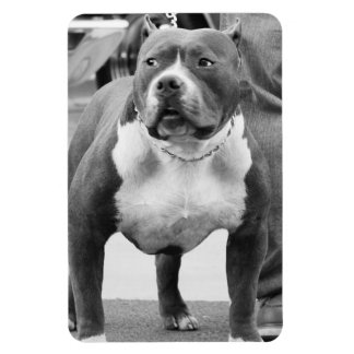American Staffordshire terrier Rectangular Photo Magnet