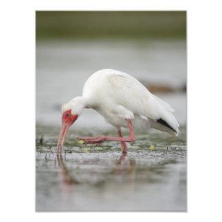 American White Ibis Eudocimus albus Photographic Print