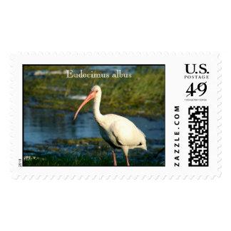 American White Ibis Postage