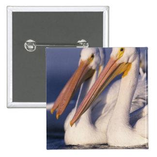 American White Pelican, Pelecanus Button