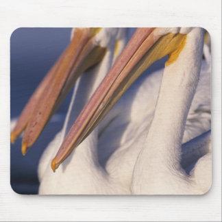 American White Pelican, Pelecanus Mouse Pad