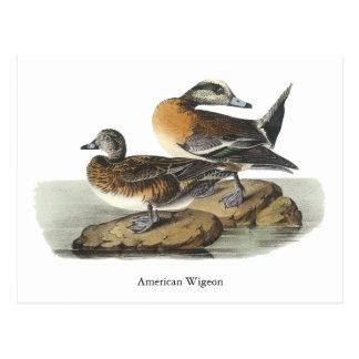 American Wigeon, John Audubon Postcard