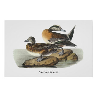 American Wigeon, John Audubon Poster