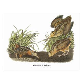 American Woodcock, John Audubon Print Postcard
