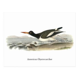 Americano Oystercatches, Juan Audubon Tarjeta Postal