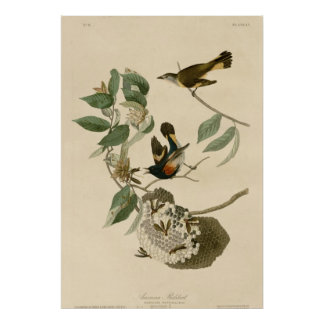 Americano Redstart Posters