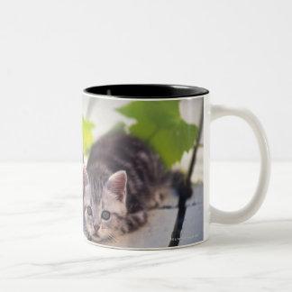 Americano Shorthair; es el más popular y la mayorí Tazas De Café