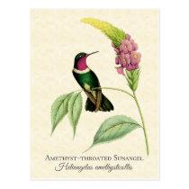 Amethyst Throated Hummingbird Art Postcard