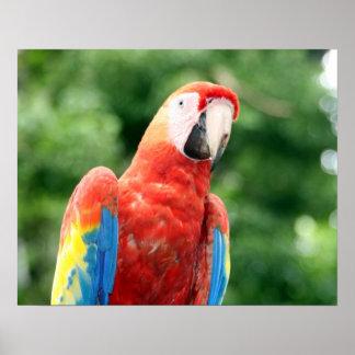 amigo del macaw del escarlata posters