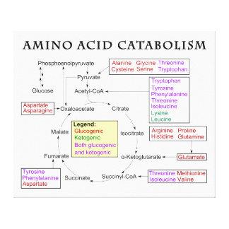 Amino Acid Catabolism Diagram Canvas Print