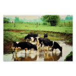 Amish Cows Poster