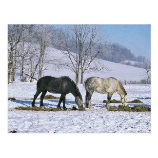 Amish Draft Horses in Winter Pasture-Postcard Postcard