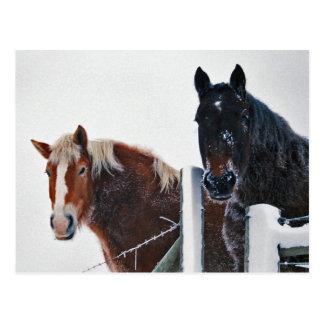 Amish Horses at Fence-Postcard Postcard