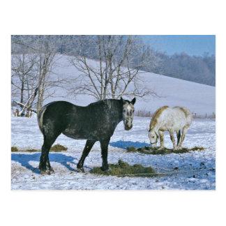 Amish Horses In Winter Pasture-Postcard Postcard