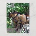 Amish Horses postcard