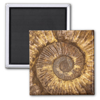 Ammonite (Arietites sp.) from the Lower Jurassic 2 Inch Square Magnet