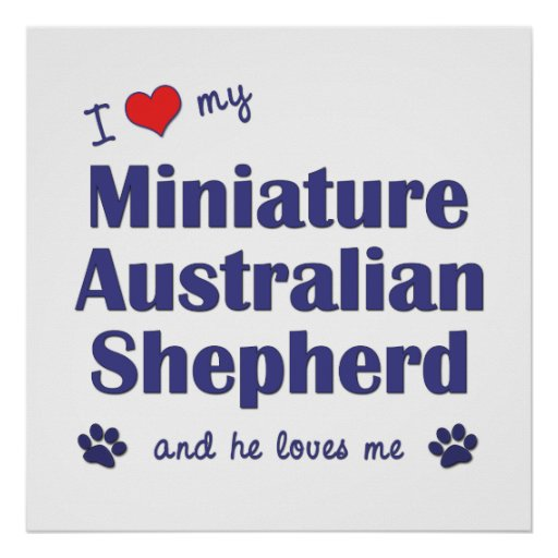 Amo a mi pastor australiano miniatura (el perro ma póster