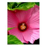 ¡Amo hibiscos! (Rosa de Sharon) Postal