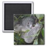 Amo koalas imán de frigorifico