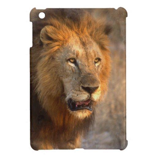 Amo leones