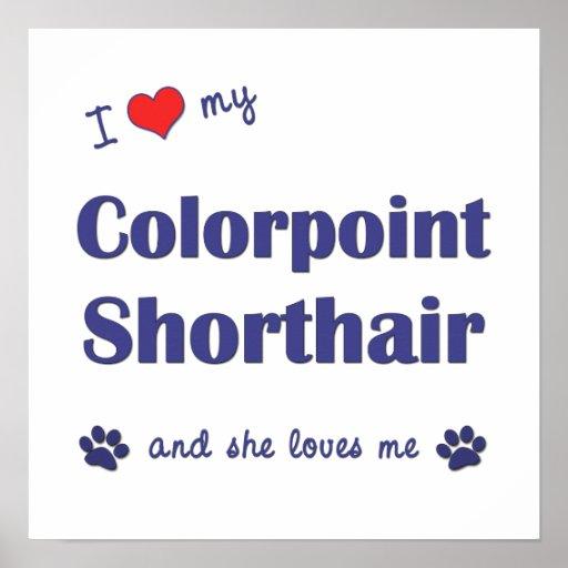 Amo mi Colorpoint Shorthair (el gato femenino) Póster
