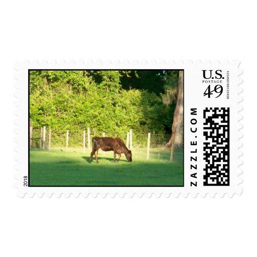 Amo sellos de las vacas