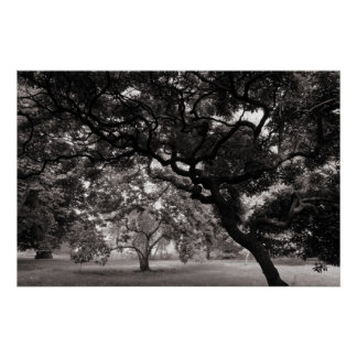 Amongst the Magnolia Trees -Warm BW Poster