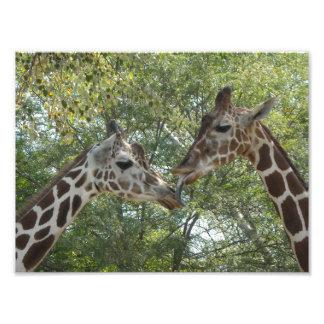 Amor de la jirafa fotografias