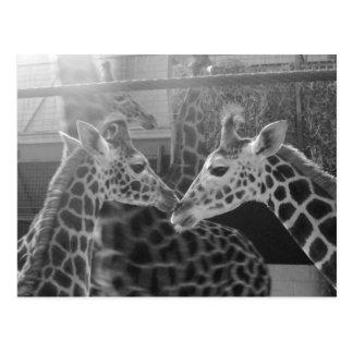 Amor de la jirafa tarjetas postales