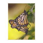 Amor de la mariposa impresiones en lona estiradas