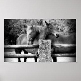 ¡Amor del caballo! Abrazo de dos caballos Póster