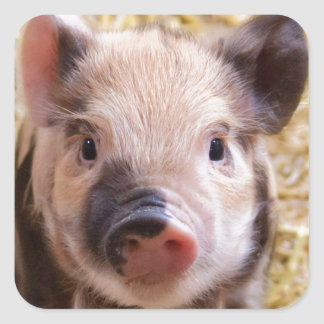 Amor del cerdo de Happines Pegatina Cuadrada