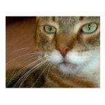 Amor del gato de Tabby Postales