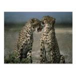 Amor del guepardo postal