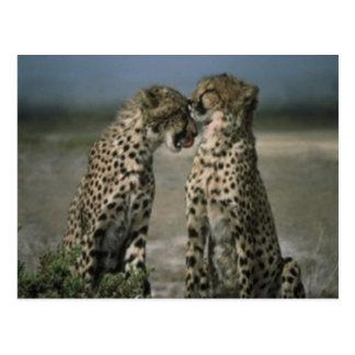 Amor del guepardo postales