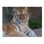 Amor del tigre postal