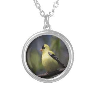 Amor que espera del Goldfinch americano para Joyerias