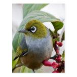 Amor que espera del pájaro de Silvereye para Postal