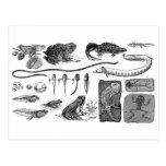 Amphibian Evolution Post Card