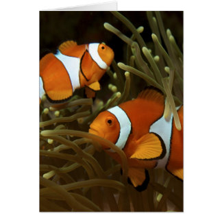 Amphiprion ocellaris Clown anemonefish Greeting Card